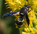 Mason wasp? - Euodynerus megaera