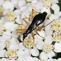 bug - Nabis subcoleoptratus