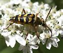 Gold and Black Beetle - Strophiona laeta