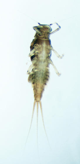 Unknown Mayfly nymph - Caenis