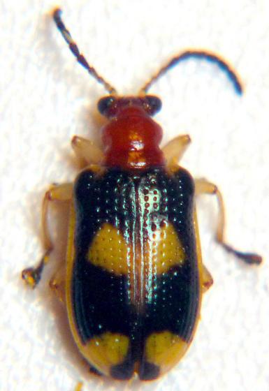 flea beetle? - Lema opulenta