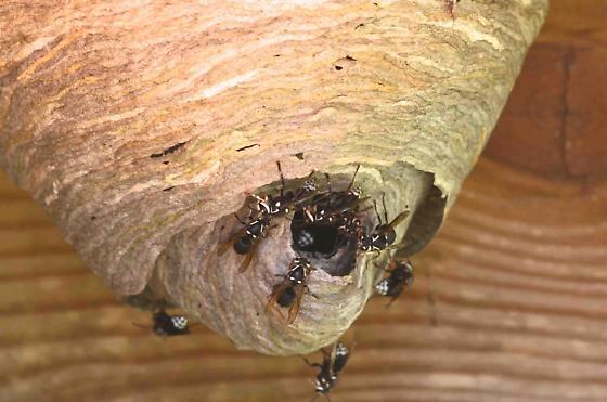 wasp nest - Dolichovespula maculata