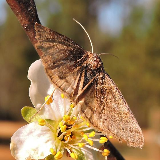 Diurnal moth - forage looper? - Caenurgina