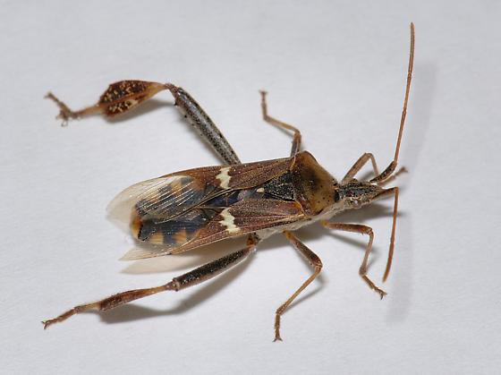 Leaf footed Bug - I presume Leptoglossus clypealis - Leptoglossus clypealis