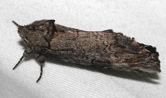 Pyralid Moth? - Oligocentria