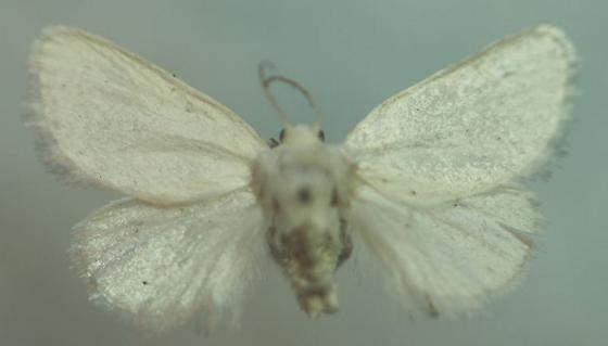 Alarodia slossoniae