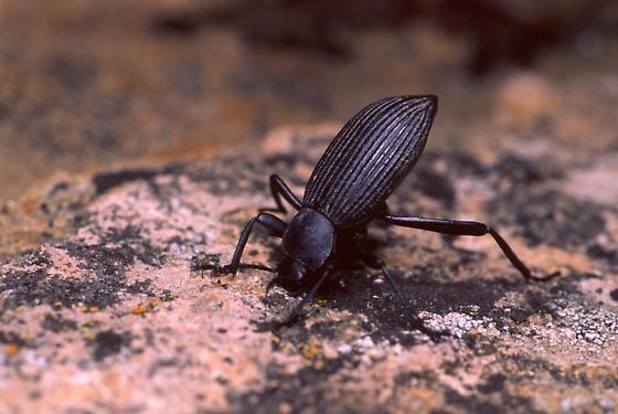 Darkling Beetle - Eleodes hispilabris
