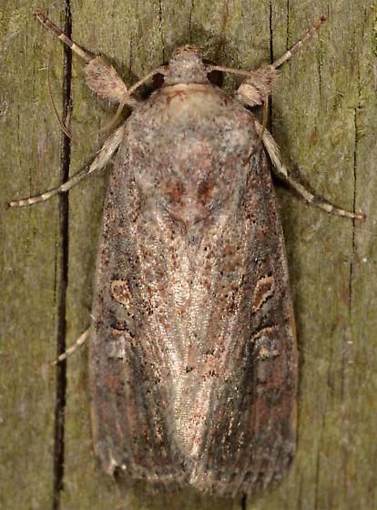 Spodoptera frugiperda - Fall Armyworm Moth - Spodoptera frugiperda