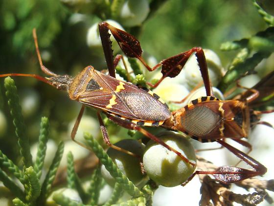 Mating Western Leaf-footed Bugs - Leptoglossus clypealis - male - female