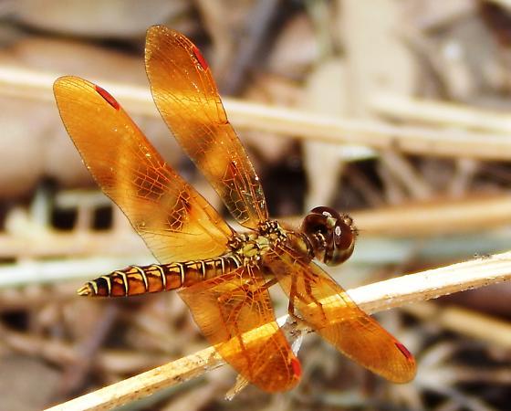 Amberwing Dragonfly - Perithemis tenera