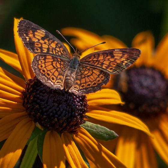 unknown  small  butterfly  - Phyciodes tharos