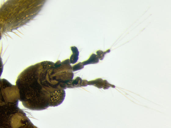 Snow Fly, antennae, ventral - Chionea stoneana - male