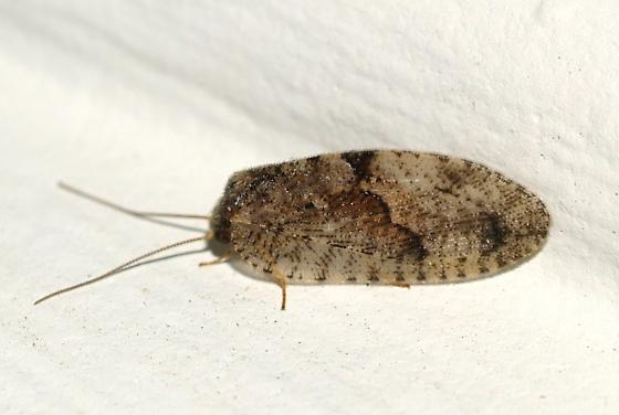 Neuroptera - Megalomus moestus