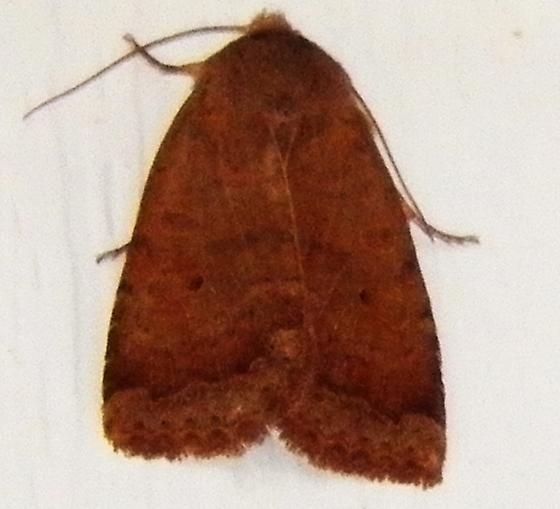 Sallow moth ? - Sericaglaea signata