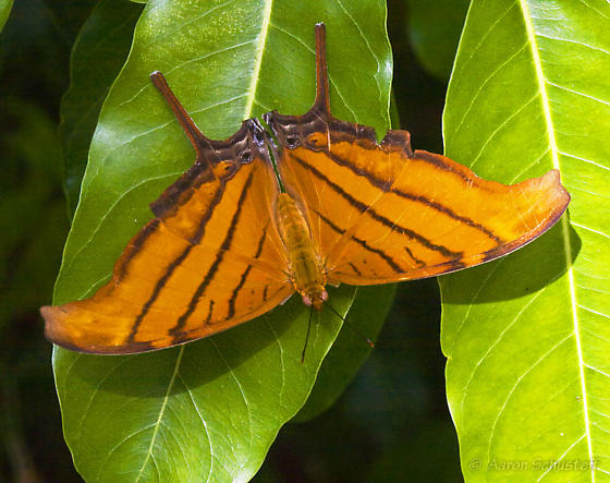 Orange Long-tailed Butterfly - Marpesia petreus