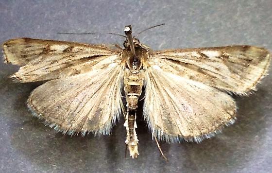 CO moth - Loxostege cereralis - male