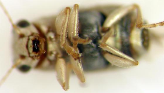 Pachybrachis jacobyi
