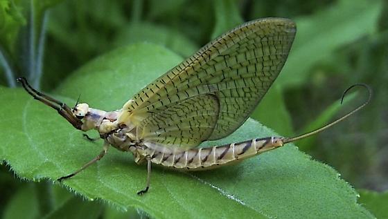 Subimago Mayfly - Hexagenia limbata