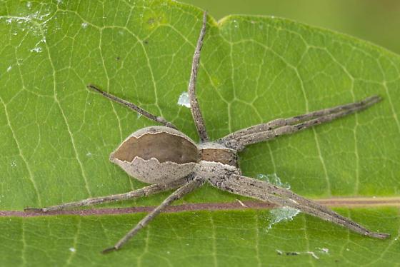 Resting spider - Pisaurina mira
