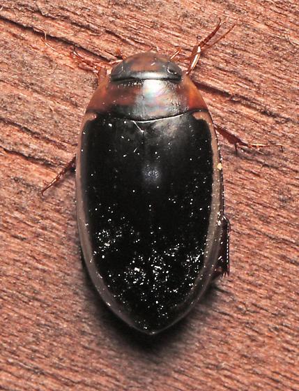 Aquatic beetle - Prodaticus bimarginatus