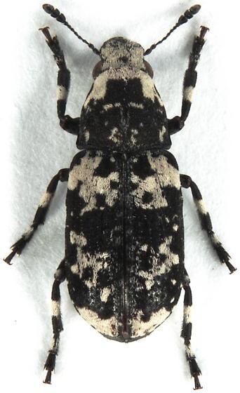 Anthribid - Euparius lugubris