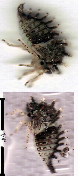 Stem Cutter - Stictocephala albescens