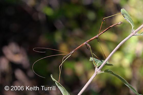 Northern walkingstick - Diapheromera femorata