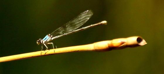 Blue-fronted dancer damselfly - Argia apicalis - male