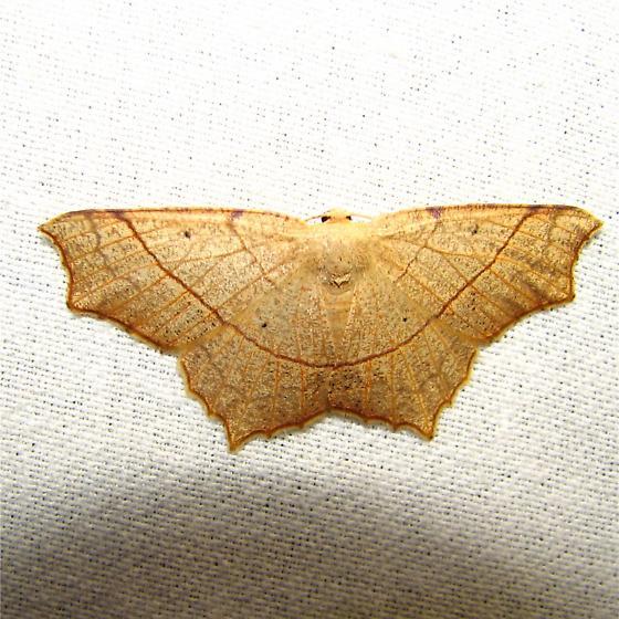 Unknown Geometrid 1 - Besma quercivoraria - female