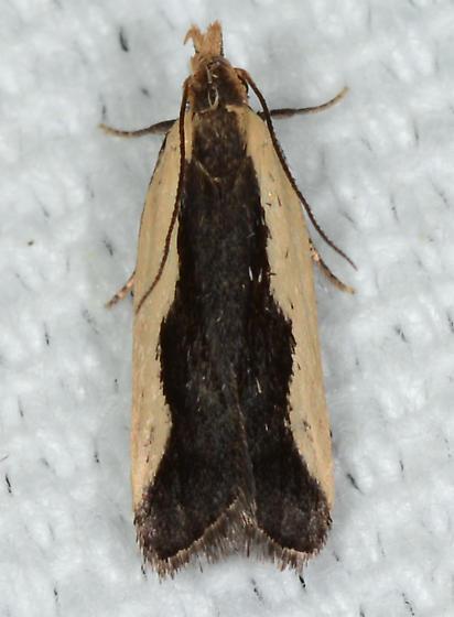 Dichomeris inserrata - Indented Dichomeris Moth - Dichomeris inserrata