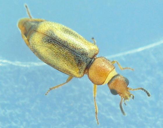 Mauroniscidae, - Scuromanius facetus
