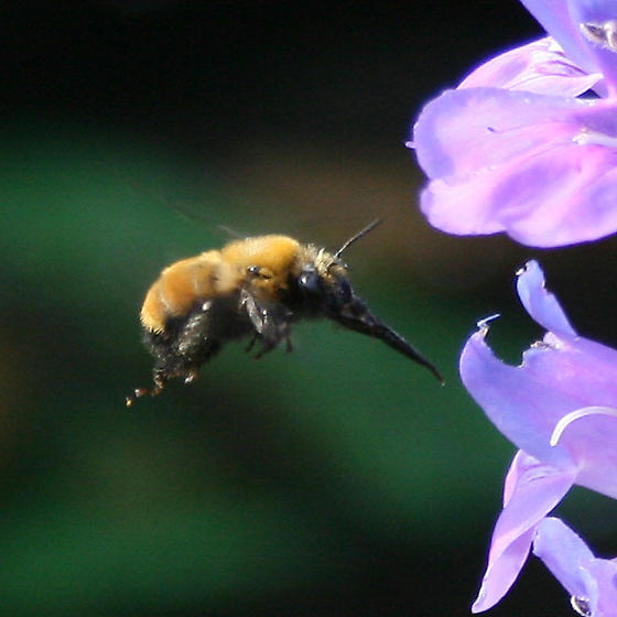 Bee like pollinator - Anthophora bomboides