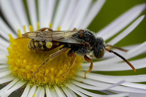 Mystery wasp or bee on Erigeron sp  - Nomada - male