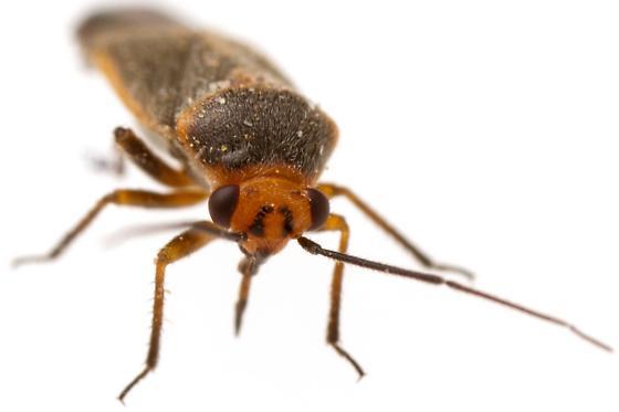 Male, Orthotylini - Lopidella flavoscuta - male