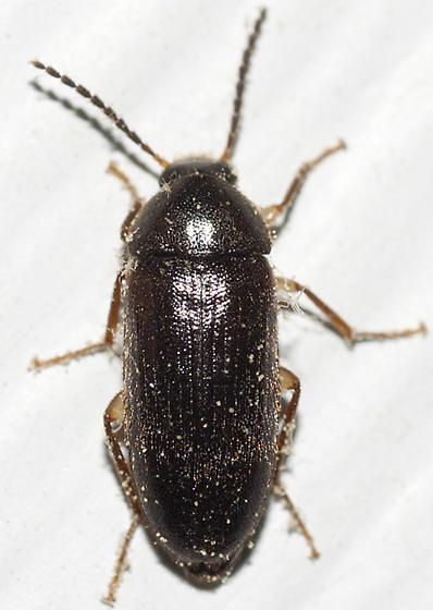 Comb-clawed Beetle - Hymenorus