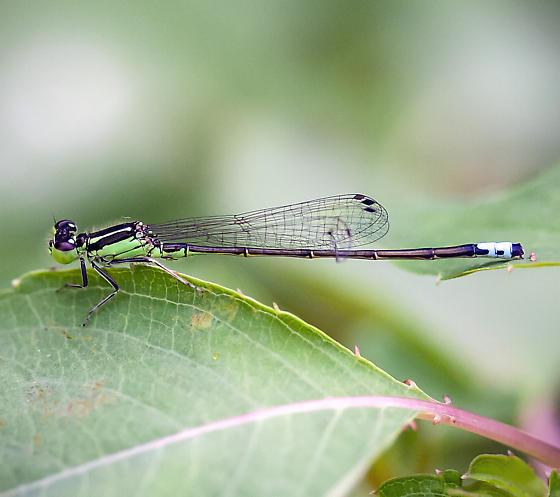 Rambur's Forktail (Ischnura ramburii) - Ischnura verticalis - male
