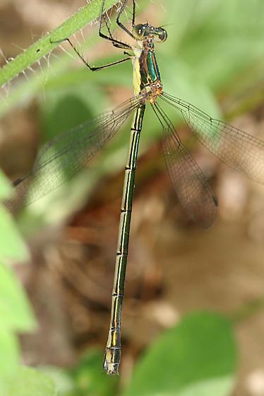 Elegant Spreadwing - Lestes inaequalis - female