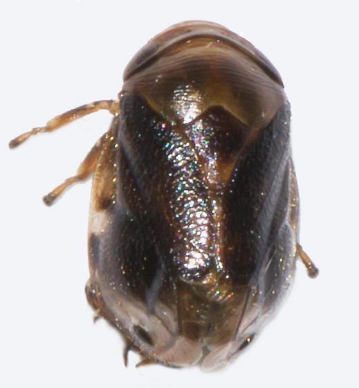 Clastoptera xanthocephala