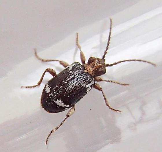 Odd Beetle - Ptinus variegatus