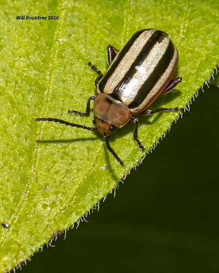 Black White Striped Beetle Disonycha