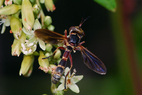 Thick-headed Fly species - Physoconops brachyrhynchus