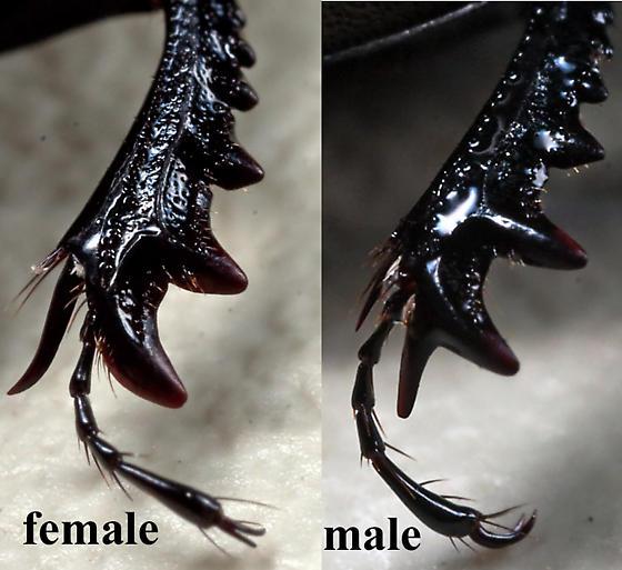 female male protibial dimorphism - Mycotrupes cartwrighti - male - female