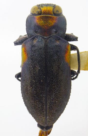 Chrysobothris acaciae - male