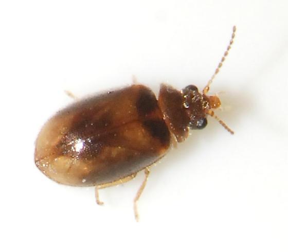 tan beetle 3 - Contacyphon