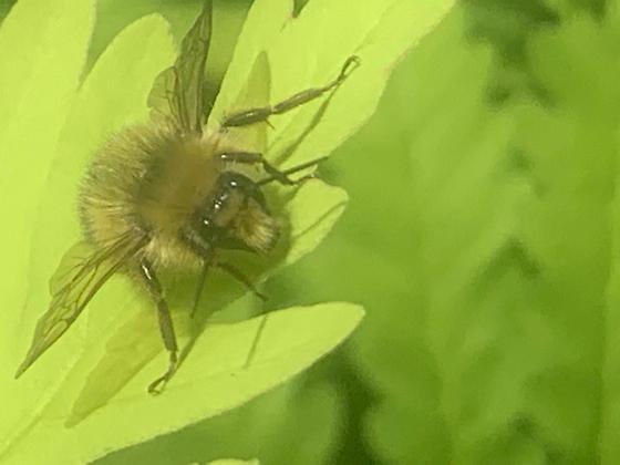 ?Sitka Bumblebee - Bombus