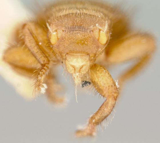 I can't believe it's a fly - Braula coeca