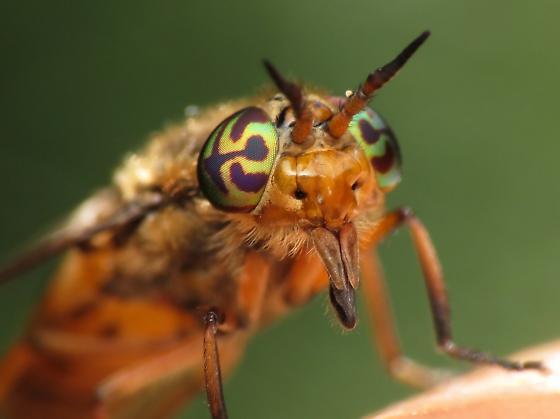 Deer fly - Chrysops