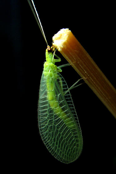 Green Lacewing life cycle - Chrysopa oculata