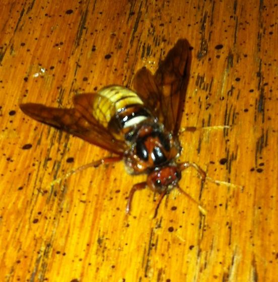 Wasp or bee or fly? - Cimbex pacificus - female
