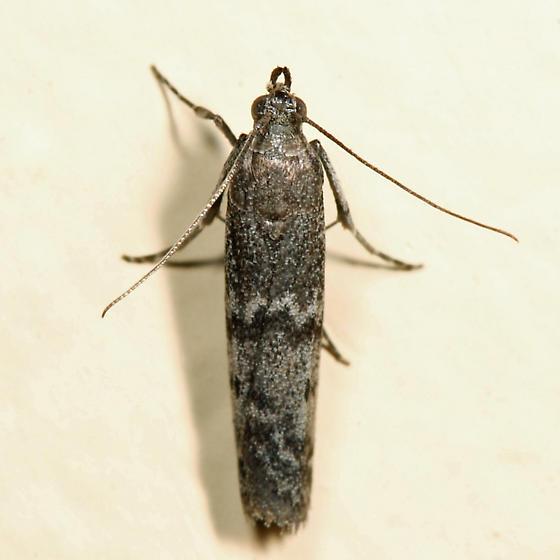 Eurythmia angulella - female
